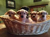 Golden Retriever/Labrador Retriever mix pups that have