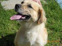 Golden Retriever - Lily - Medium - Young - Female -