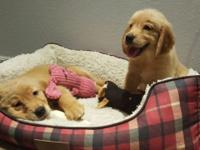 I have 2 beautiful female goldens. They are available
