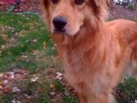 Golden Retriever - Lucky - Large - Adult - Male - Dog