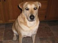 Golden Retriever - Maisy - Large - Adult - Female -