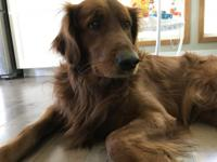 3.5 year old male Golden Retriever. Pure bred and
