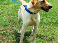 Golden Retriever - Marley - 38307 - Large - Adult -