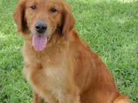 Golden Retriever - Marley - Large - Adult - Female -