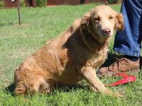 Charlotte is a 35 lbs Poodle/Golden Retriever mix.