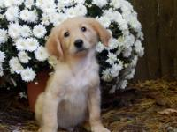Standard Goldendoodle puppies with a soft straighter