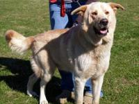Golden Retriever - Penny - Medium - Adult - Female -
