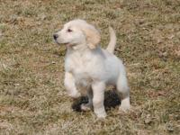 Golden Retriever 11 week old Female Pup Ultra Light