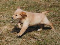 Golden Retriever Puppy Female 10 weeks old Born 1-29-13