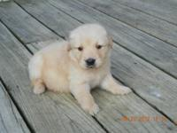 AKC Golden Retriever puppies. Sire is 100% English