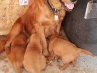 I am selling my GOLDEN RETRIEVER PUPPIES - bone