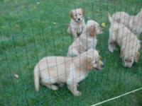Golden Retriever puppies. 3 males and 2 females. ACA