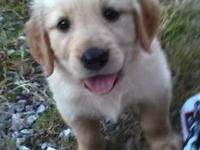 GOLDEN RETRIEVER Pups ready to be your family member.