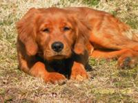 AKC registered litter of Golden Retriever Puppies. 4