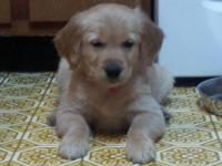 Lovable Golden Retriever Puppies (AKC) from stunning
