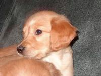 Stunning AKC registered Golden Retriever puppies. They