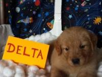 Golden Retriever Puppies AKC purebred, 1st Shots,