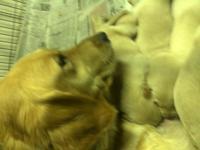 Golden Retriever puppies,AKC. Born April 17,