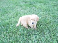 Outstanding litter of Golden Retriever puppies