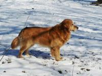 Golden Retriever Puppies (AKC) from gorgeous parents.