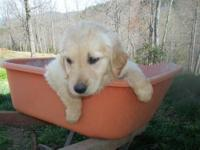 BEAUTIFUL AKC GOLDEN RETRIEVER PUPPIES for sale! There