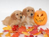 Lovely Golden retriever Puppies Available October 1 by