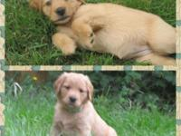 3 Male Golden Retriever puppies available to approved