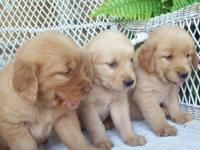 We have 7 adorable AKC registered Golden Retriever