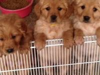 Golden Retriever puppies, 8 weeks, first shots, AKC