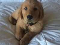 Beautiful Golden Retriever puppies ready to go home on