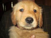 Beautiful Golden Retriever Puppies Due July 4th 2013.