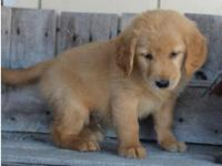 Golden Retriever puppies,Registered/registerable,