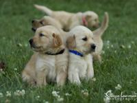 FOR SALE AKC Golden Retriever Puppies. I have 2 males.