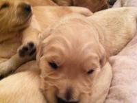 Full breed golden retriever PUPS ..this is not moms