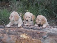 Purebred Golden Retriever Puppies for Sale. 3 males