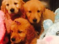 I have a litter of golden retriever puppies. They were