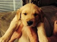 Cute AKC registered Golden Retriever young puppies