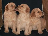 Our lovable AKC signed up Golden Retriever Puppies were