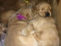 4 week old Golden Retriever puppies for sale. We have 3