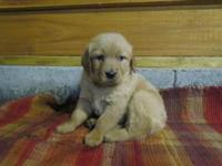 Spirited male Golden Retriever puppy registered through