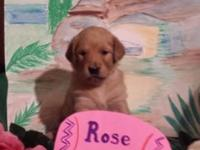 Ready 8 weeks old, April 21st. AKC Golden Retriever