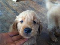 We have 6 adorable Golden Retriever puppies for sale.