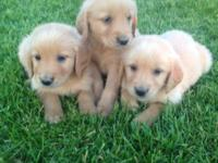 We have a Beautiful Litter of Golden Retriever