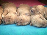 Purebred, AKC registered golden retriever puppies. Both