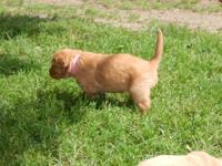 Limited Registration Golden Retriever puppies $1000 is