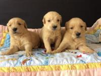 We have new Golden Retriever puppies!!! They're all