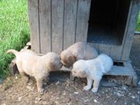 Golden Retriever Puppies , DOB - 5-21-15. Beautiful