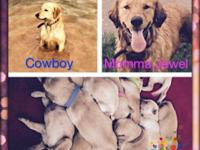 Beautiful AKC Registered Golden Puppies. Born June 28,