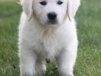 Golden retriever puppies ,,only text  405