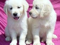 Home trained Golden Retriever puppies available. These
